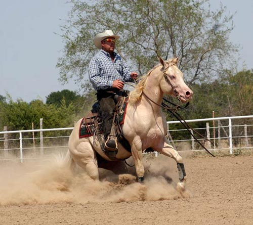 American Quarter Horses For Sale in Texas The American Quarter Horse