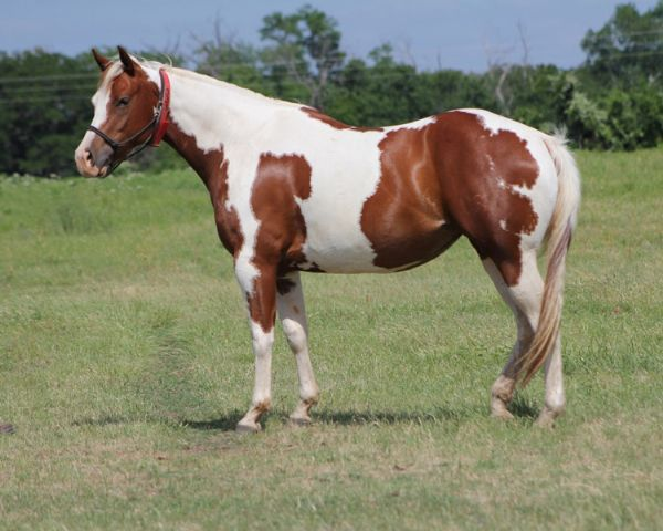 Quarter horses for sale paint horses reining horses for for Painting with a twist greenville tx
