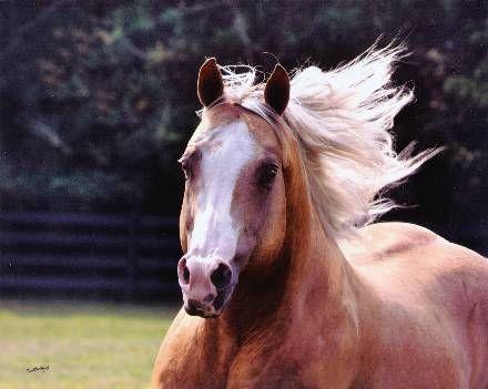 Quarter Horses for Sal...