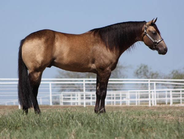 Paint Quarter Horses For Sale in Texas Quarter Horses For Sale